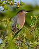 GreenHeron-EmeraldaMarsh-4-3-20-SJS-008