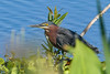 GreenHeron-EmeraldaMarsh-3-24-20-SJS-001