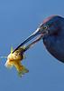 LittleBlueHeron&Fish-LAWD-1-6-19-SJS-002