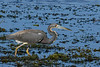TriColoredHeron-EmeraldaMarsh-3-24-20-SJS-001