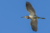 TriColoredHeron-EmeraldaMarsh-1-25-20-SJS-003