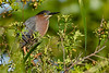 GreenHeron-EmeraldaMarsh-4-3-20-SJS-005