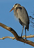 GreatBlueHeron-CircleB-Bar-FL-11-7-17-SJS-001