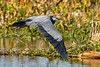 GreatBlueHeron-EmeraldaMarsh-1-28-20-SJS-003