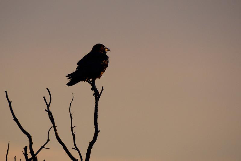 Ravens in Arches National Park, Utah 2018