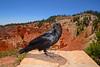 Raven-BryceCanyonNP-Utah-6-27-18-SJS-001