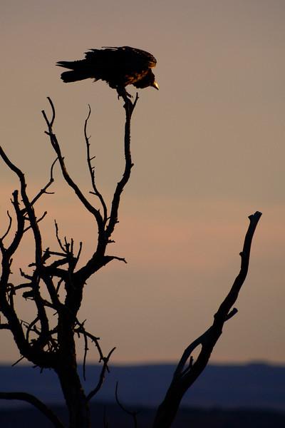 Raven-ArchesNP-Utah-6-22-18-SJS-001