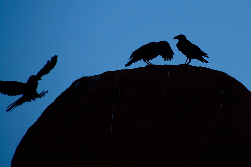 Ravens in Arches National Park, Utah 2018