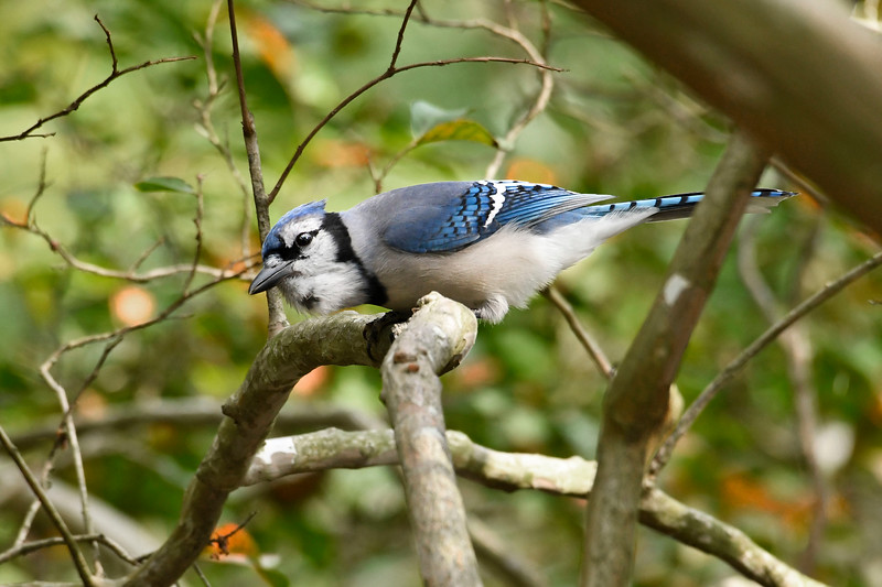 BlueJay-HamptonVA-9-30-19-SJS-001