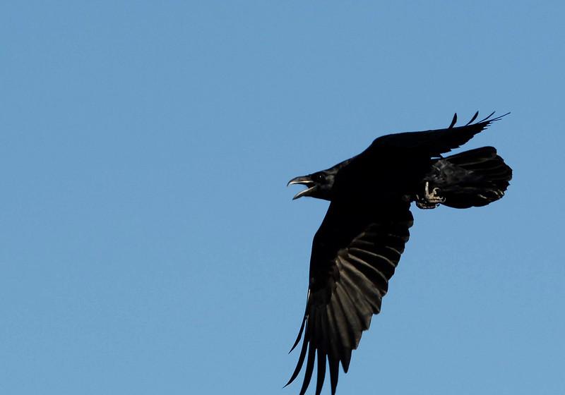 FlyingRaven-01