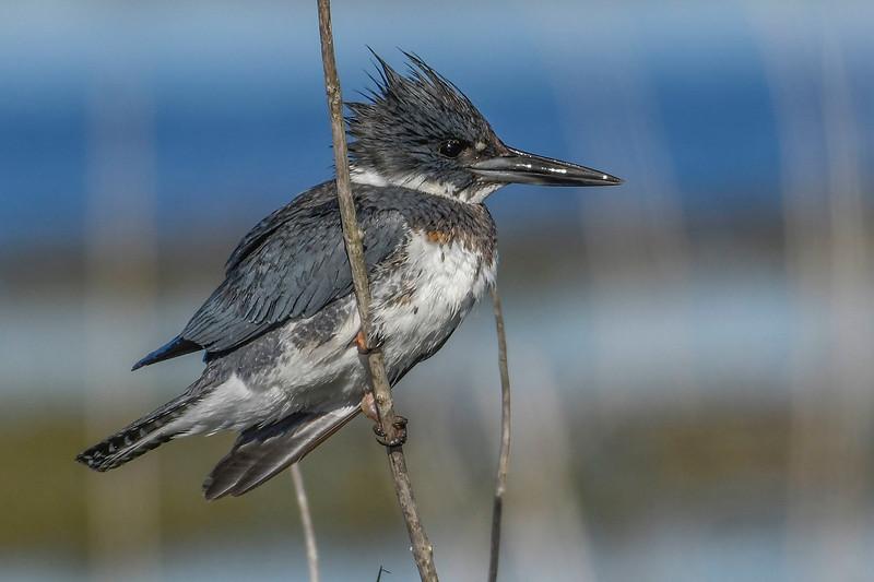 BeltedKingfisher-LAWD-1-21-19-SJS-013