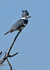 BeltedKingfisher(female)-LAWD-12-5-20-sjs-002