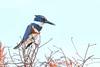 BeltedKingfisher(male)-LAWD-12-23-18-SJS-002