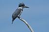 BeltedKingfisher-LAWD-3-16-18-SJS-002