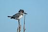 BeltedKingfisher-LAWD-FL-2-10-17-SJS-02
