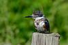 BeltedKingfisher-LAWD-Fl-3-17-17-SJS-004