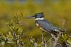 BeltedKingfisher(female)-MerrittIslandNWR-12-29-20-sjs-002