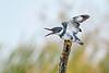BeltedKingfisher(male)-LAWD-11-11-20-sjs-003