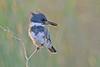 MaleBeltedKingfisher-LAWD-12-25-16-SJS-003
