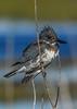 BeltedKingfisher-LAWD-1-21-19-SJS-014