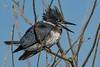 BeltedKingfisher-LAWD-1-21-19-SJS-005