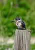BeltedKingfisher-LAWD-Fl-3-17-17-SJS-008