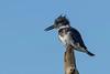 BeltedKingfisher(male)-LAWD-12-23-18-SJS-006