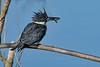 BeltedKingfisher-LAWD-1-21-19-SJS-009