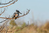 BeltedKingfisher-EmeraldaMarsh-12-23-20-sjs-004