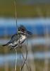 BeltedKingfisher-LAWD-1-21-19-SJS-012