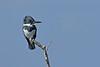BeltedKingfisher(male)-LAWD-12-2-18-SJS-006