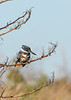 BeltedKingfisher-EmeraldaMarsh-12-23-20-sjs-005