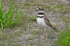 Killdeer-HowardMarshOH-5-8-18-SJS-001