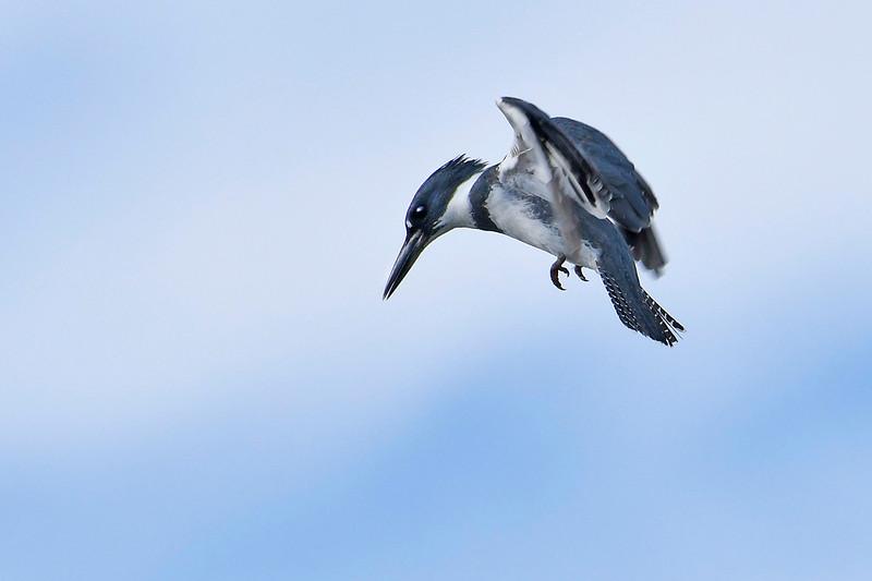 BeltedKingfisher(male)-LAWD-12-23-18-SJS-003