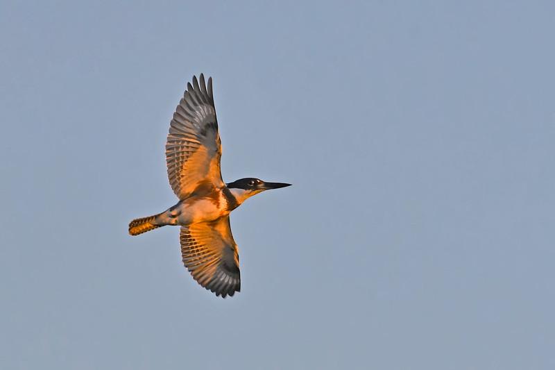 BeltedKingfisher-MerrittIslandNWR-12-6-19-SJS-001