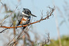 BeltedKingfisher-EmeraldaMarsh-12-23-20-sjs-002