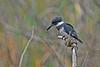 BeltedKingfisher(male)-LAWD-2-4-18-SJS-003