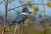 BeltedKingfisher-LAWD-12-27-20-sjs-002
