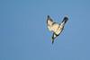 BandedKingfisher-11-13-16-SJS-006