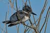 BeltedKingfisher-LAWD-1-21-19-SJS-002
