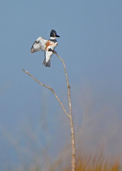 BeltedKingfisher-Female-LAWD-FL-2-20-17-SJS-001