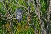 BeltedKingfisher-LAWD-FL-2-10-17-SJS-06