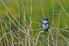 MaleBeltedKingfisher-LAWD-1-6-17-SJS-005
