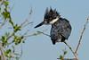 BeltedKingfisher-LAWD-1-21-19-SJS-006