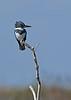 BeltedKingfisher(male)-LAWD-12-2-18-SJS-004