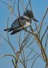 BeltedKingfisher-LAWD-1-21-19-SJS-001