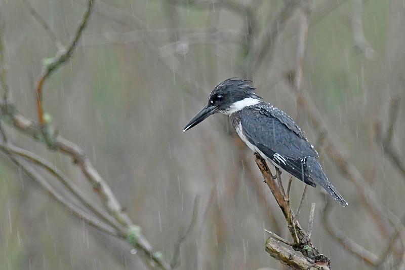 BeltedKingfisher(male)-LAWD-2-4-18-SJS-002