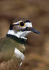 Killdeer-006