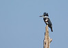 Kingfisher-female-VeiroWetlands-11-16-SJS-007