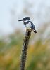 BeltedKingfisher(male)-LAWD-11-11-20-sjs-001